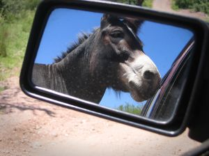 donkey in mirror