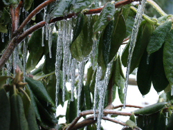 Icicle on Leaves