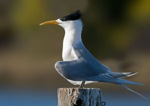 800px Crested Tern Tasmania edit