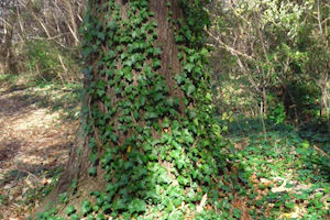 tree with vine