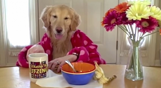 breakfast with ginger - a funny dog video