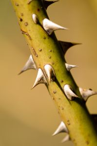 A picture of thorns