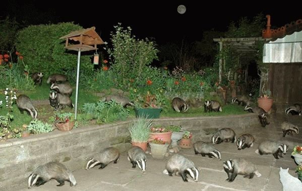 badgering neighbor