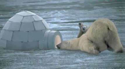 Funny Pictures of Polar Bear Looking In Igloo