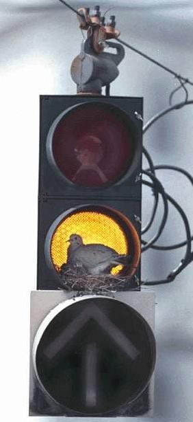Funny Pictures of Bird Building Nest in Traffic Light