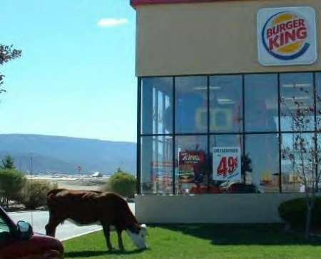 Funny Pictures of Bull In Front of Burger King