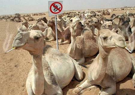 Funny Pictures of Smoking Camels
