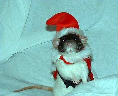 Funny Pictures of Rat with Santa Hat