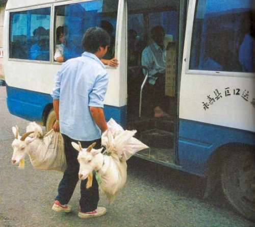 Funny Pictures of Goats Being Taken On Bus