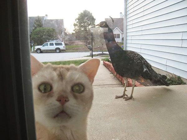 Funny picture of a scared cat and a peacock