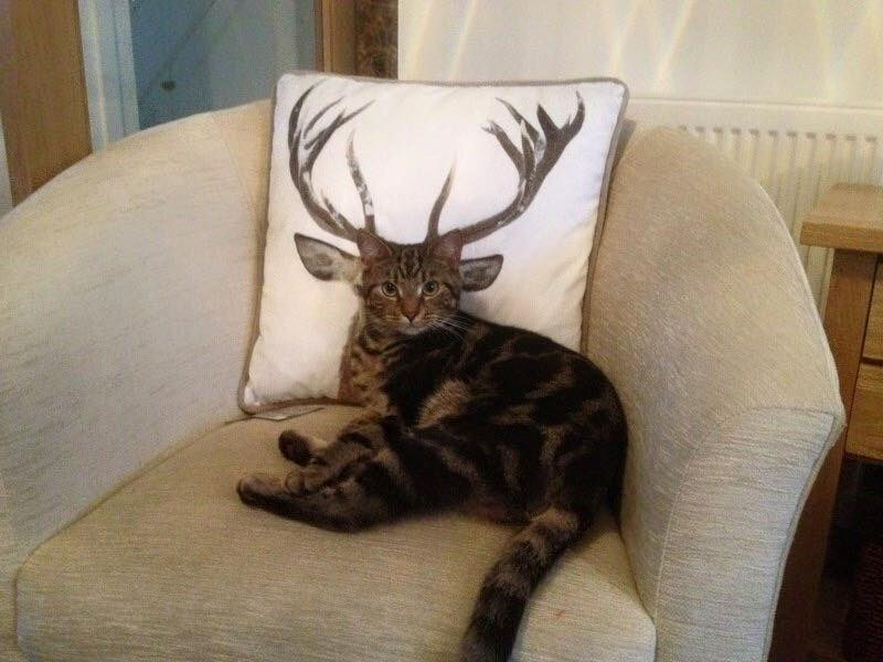 Funny cat antlers picture