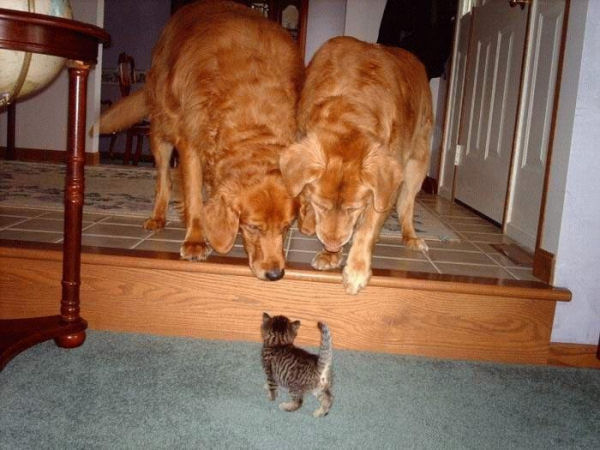 a funny cat picture of a kitten with 2 dogs