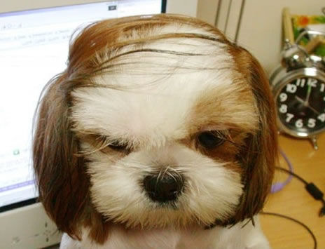 a funny dog comb over picture