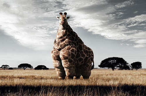 Funny Pictures of Fat Giraffe