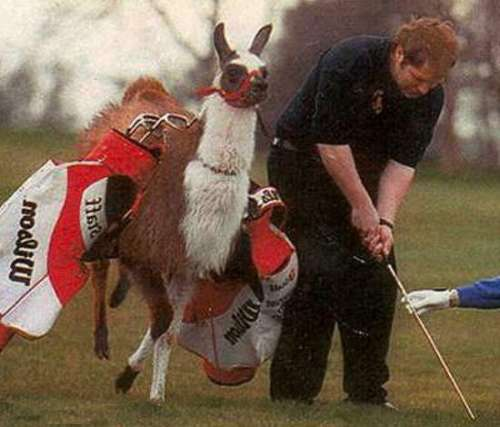 Funny Pictures of Michael Jackson Llama Golf Caddy