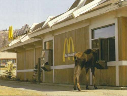 Funny Pictures of Moose at McDonalds Drivethru