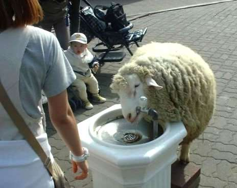 Funny Pictures of Sheep Drinking from Water Fountain
