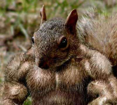Funny Pictures of Body Building Squirrel With Huge Muscles