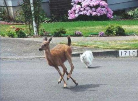 Funny Pictures of a Cat Chasing a Deer