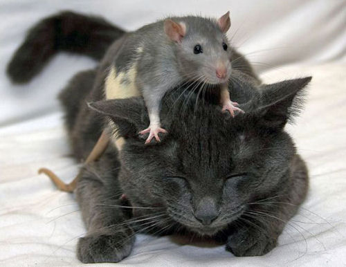 Funny Cat Pictures -  with Rat on Head