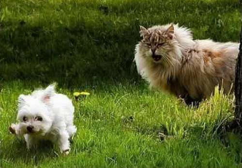 Funny Cat Pictures -  Growling At Little Dog