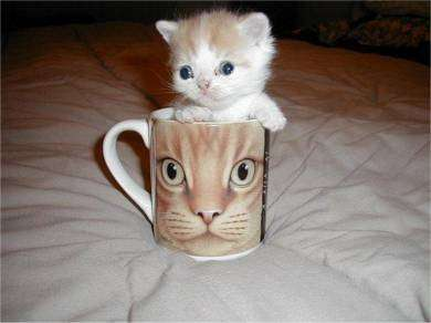 Funny Pictures of Kitten In Coffee Mug