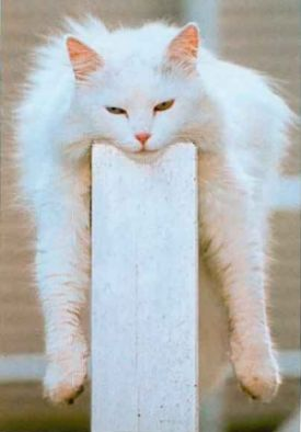 Funny Pictures of White Cat Laying on Wall