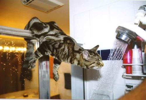 Funny Cat Pictures -  drinking from shower head.