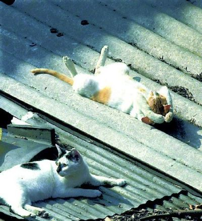 Funny Cat Pictures -  On A Hot Tin Roof