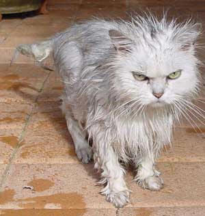 Funny Pictures of Wet Cat