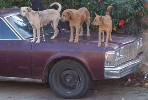 Funny Pictures of Three Dog Car Alarm
