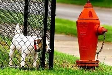 Funny Pictures of Dog staring at a Hydrant