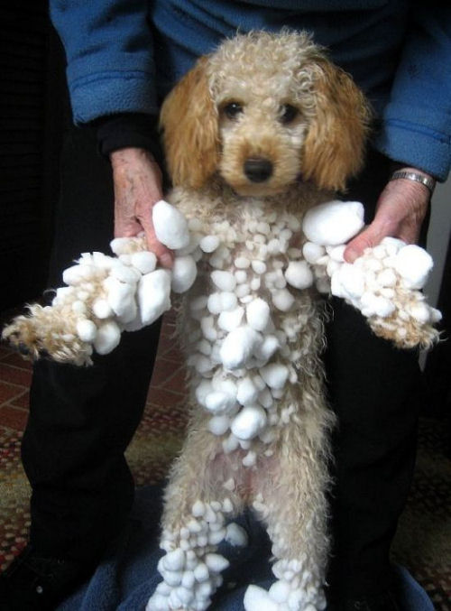 A funny dog picture of a dog covered in snowballs.