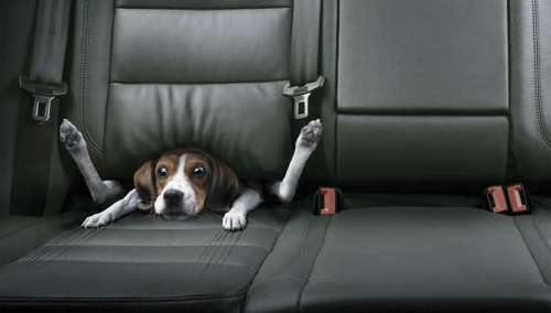 Funny Pictures of Dog In Back Seat of Car