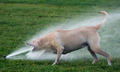 Funny Pictures of Dog Drinking Sprinkler Spray